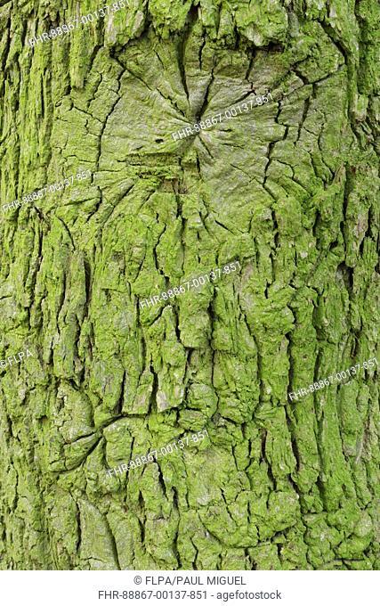 Close up of bark of English Oak (Quercus robur) Hetchell Wood, Bardsey, West Yorkshire, England, October
