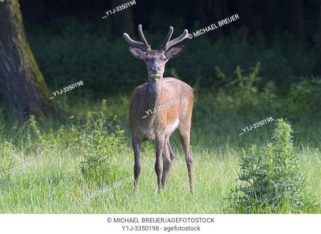Red deer (Cervus elaphus) in summer, Hesse, Germany, Europe