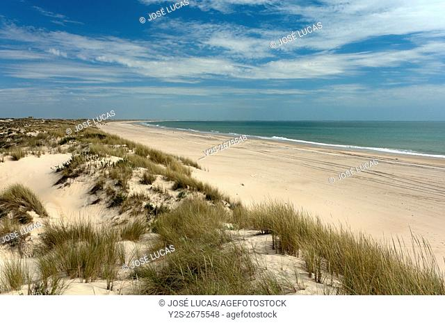 Dunes and natural beach, Doñana National Park , Almonte, Huelva province, Region of Andalusia, Spain, Europe