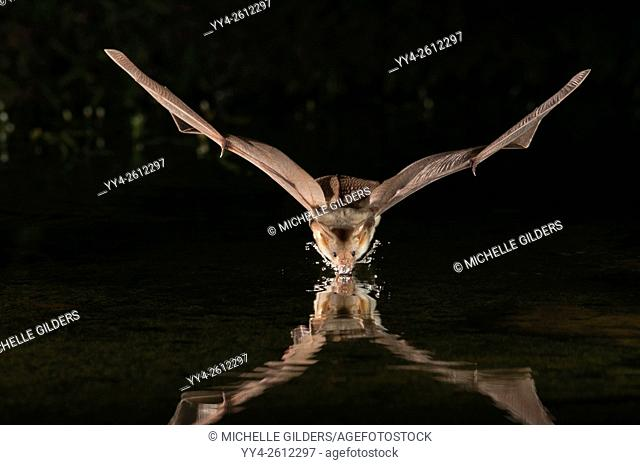 Pallid bat, Antrozous pallidus, Green Valley, Arizona, USA; found from western Canada to central Mexico