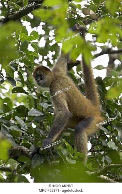 Spider Monkey Ateles geoffroyi, hanging by its tail in forest canopy, Santa Rosa National Park, Costa Rica