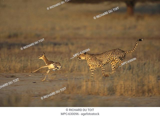Cheetah Acinonyx jubatus, adult hunting a baby Springbok Antidorcas marsupialis, Kgalagadi Transfrontier Park, South Africa