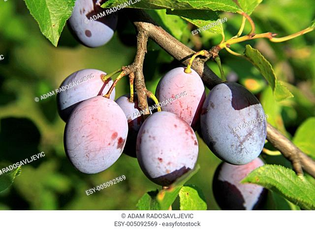 Branch Of Plums