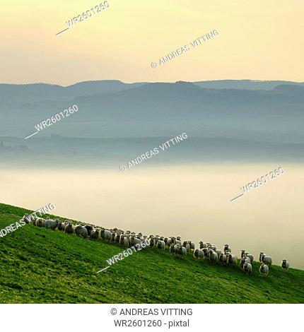 Flock of sheep in morning fog at sunrise in the Val d'Orcia near San Quirico d'Orcia, Province Siena, Tuscany, Italy