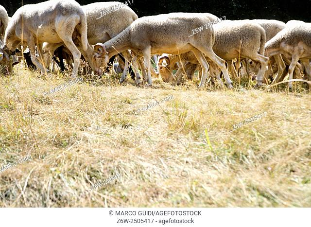 A flock of sheep grazing on a meadow in the mountains