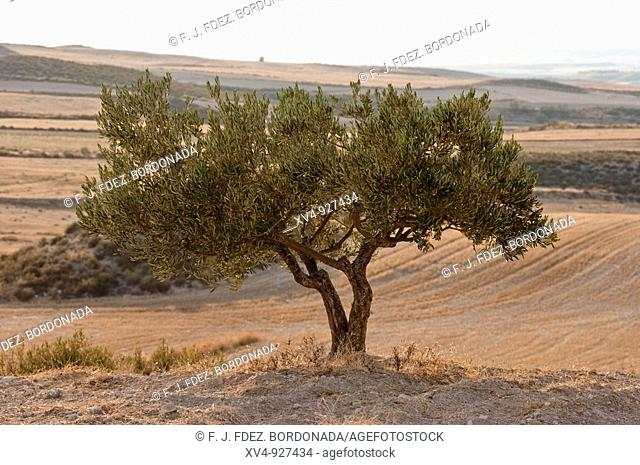 Olive tree in Monegros, a dryland of Zaragoza area. Spain