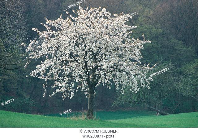 Blooming, Cherry, Tree, Bavaria, Germany