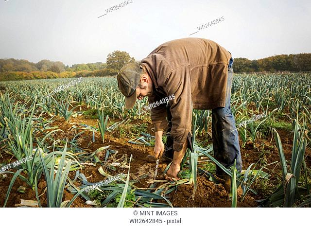 A man bending and lifting fresh leeks from the soil in a field
