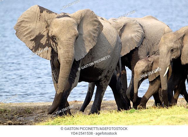 African Elephants (Loxodonta africana), in the river, Chobe National Park, Botswana