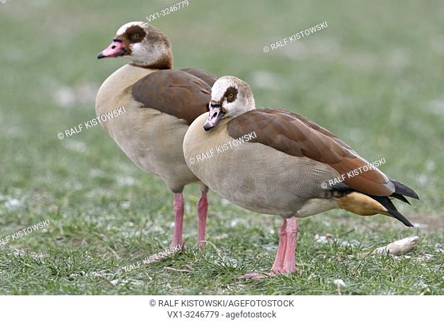Egyptian Geese / Nilgaense (Alopochen aegyptiacus) pair in winter, standing on frosty farmland, typical view, wildlife, Europe