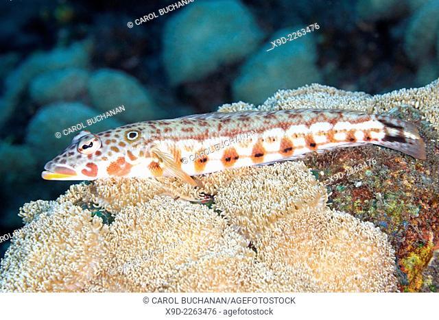 A male Latticed Sandperch, or spotted Grubfish, Parapercis clathrata.Tulamben, Bali, Indonesia. Bali Sea, Indian Ocean