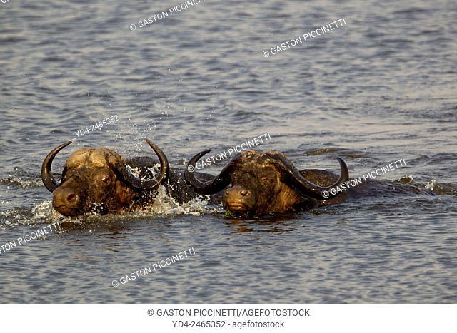 Cape buffalos (Syncerus caffer), crossing the river, Chobe National Park, Botswana