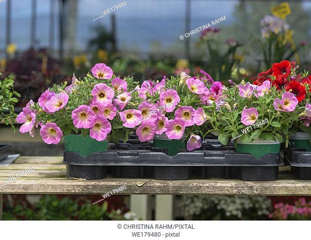 Pink petunia flowers in pots inside greenhouse. Spring garden series, Mallorca, Spain