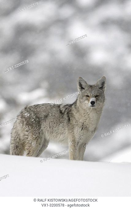 Coyote / Kojote ( Canis latrans ), in winter, standing in deep snow, watching carefully, nice surrounding, direct eye contact, Yellowstone NP, Wyoming, USA