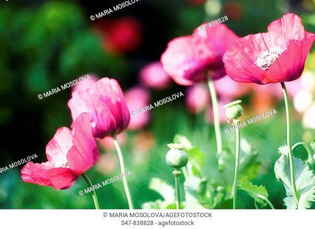 Pink Poppy Flowers and Seedheads. Papaver somniferum paeoniflorum