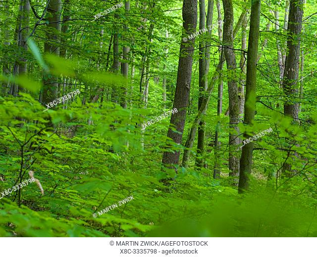 The woodland Hainich in Thuringia, National Park and part of the UNESCO world heritage - Primeval Beech Forests of the Carpathians and the Ancient Beech Forests...