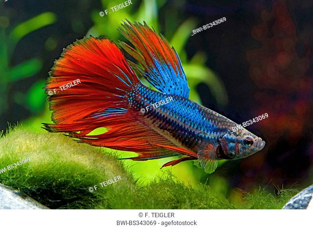 Siamese fighting fish, Siamese fighter (Betta splendens), breed Halfmoon blue red