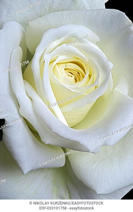 Hybrid rose (Rosa x hybrid). Close up image of single flower