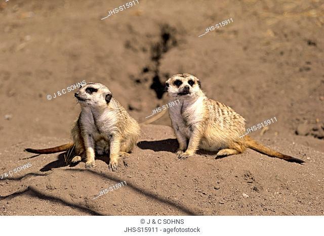 Suricate, (Suricata suricatta), adult couple alert, Little Karoo, Western Cape, South Africa, Africa