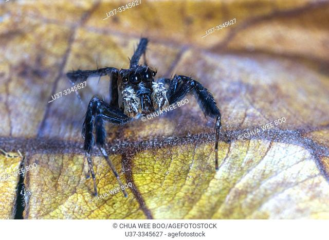 Jumping spider at Stutong Forest Reserve Park, Kuching, Sarawak, Malaysia