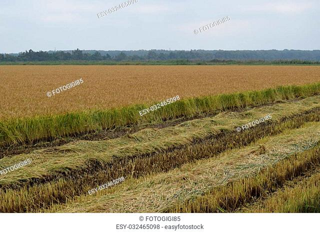 Field rice harvest began. Field of rice in the rice paddies. Rice cultivation in temperate climates