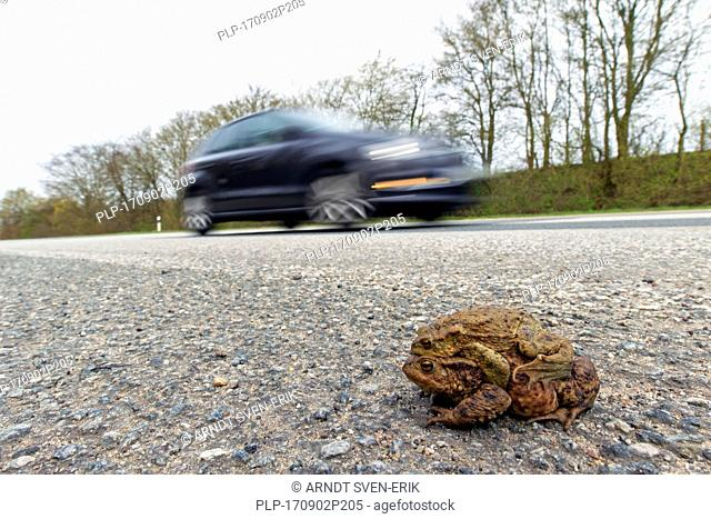 Common toad / European toads (Bufo bufo) pair in amplexus crossing road with passing cars to breeding pond in spring