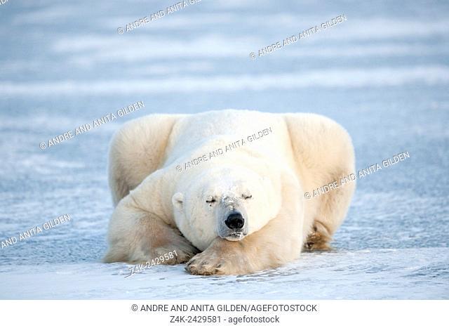 Polar bear (Ursus maritimus) lying down and sleeping on blue ice, Churchill, Manitoba, Canada