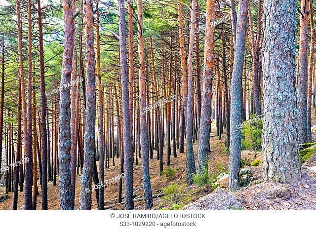 Pinares en Las Majadillas  Miraflores de la Sierra  Madrid  España