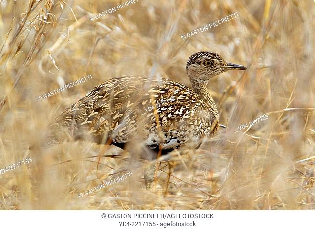 Crested bustard, Red-crested korhaan (Eupodotis rificrista) in the bush, Kruger National Park, South Africa