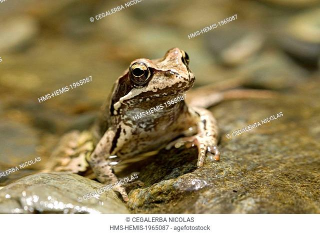 Bulgaria, Plovdiv region, Stara Planina, Central Balkan National Park, frog (Rana sp.)