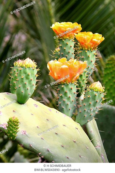 Indian fig, cactus pear Opuntia ficus-indica, Opuntia ficus-barbarica, blooming plant, Spain, Canary Islands, Tenerife
