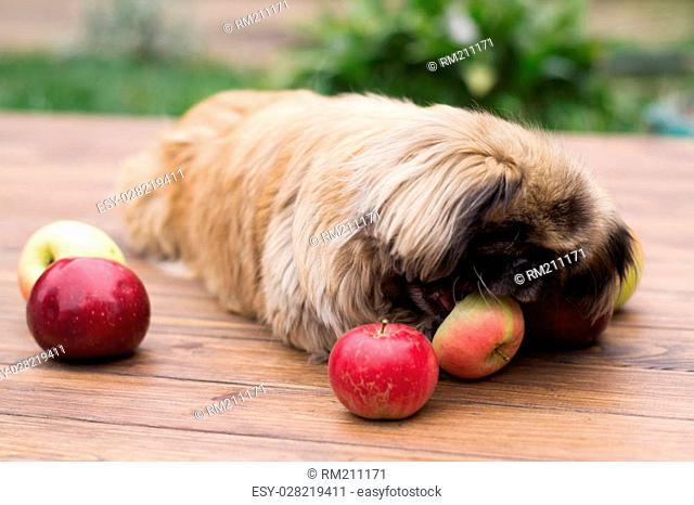small dog chews an apple on a wooden background