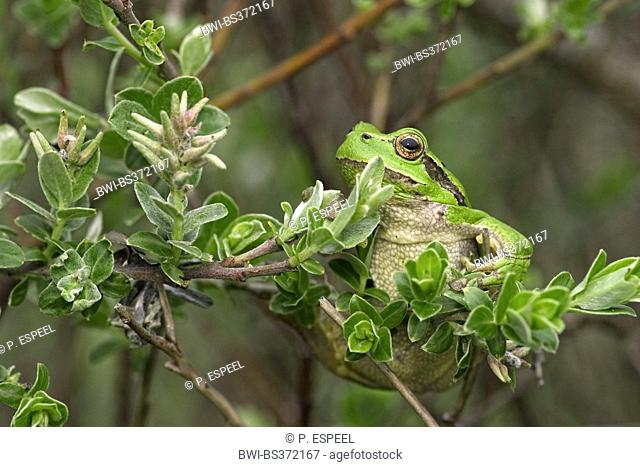 European treefrog, common treefrog, Central European treefrog (Hyla arborea), sitting in a shrub, France