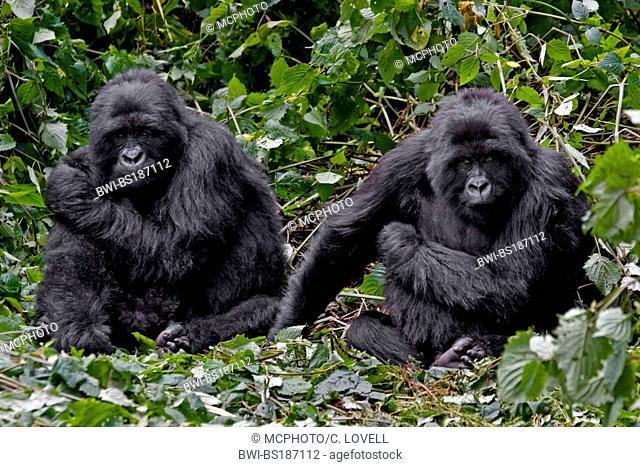 Mountain gorilla (Gorilla beringei beringei), Two brother MOUNTAIN GORILLAS of the KWITANDA GROUP in VOLCANOES NATIONAL PARK relax in a nest, Rwanda