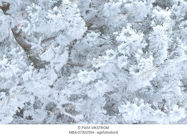 Frozen pine tree branches covered with thick white hoarfrost