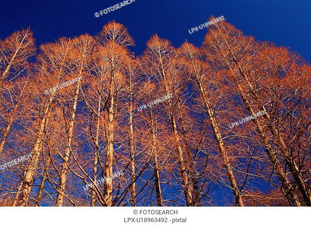 Metasequoia Trees Against Blue Sky