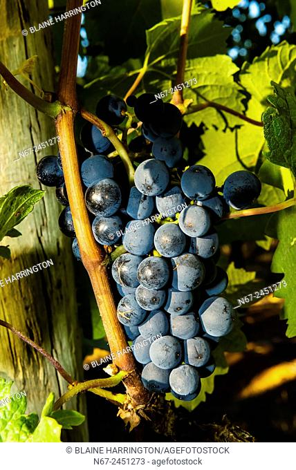 Merlot grapes during the wine harvest at Delaire Graff Wine Estate atop Helshoogte Pass, near Stellenbosch, Cape Winelands (near Cape Town), South Africa