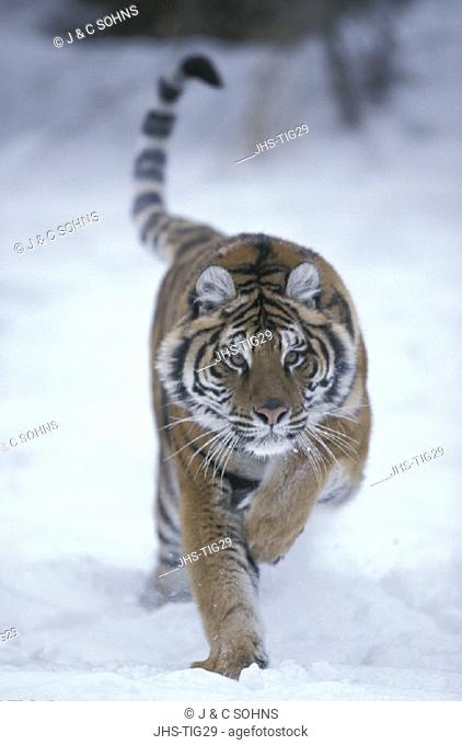 Siberian Tiger , Panthera tigris altaica , Montana , USA , Adult jumping , running in snow