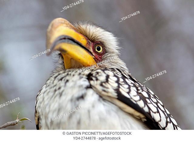 Yellowbilled hornbill (Tockus flavirostris), Kruger National Park, South Africa