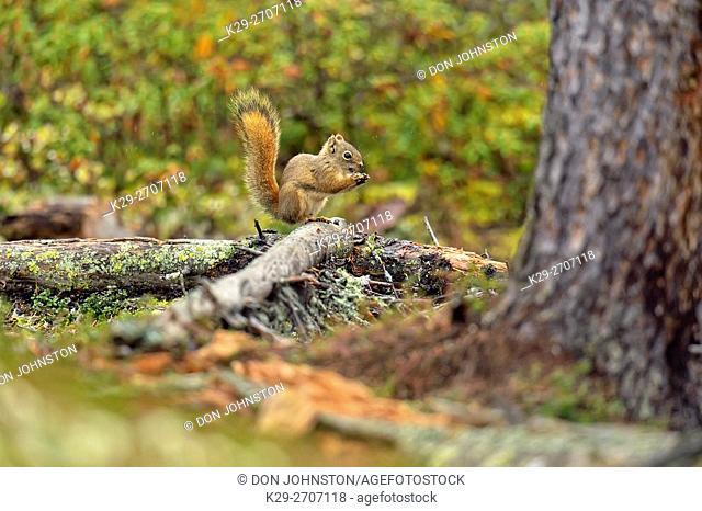 Red squirrel (Tamiasciurus hudsonicus), Arctic Haven Lodge, Ennadai Lake, Nunavut, Canada