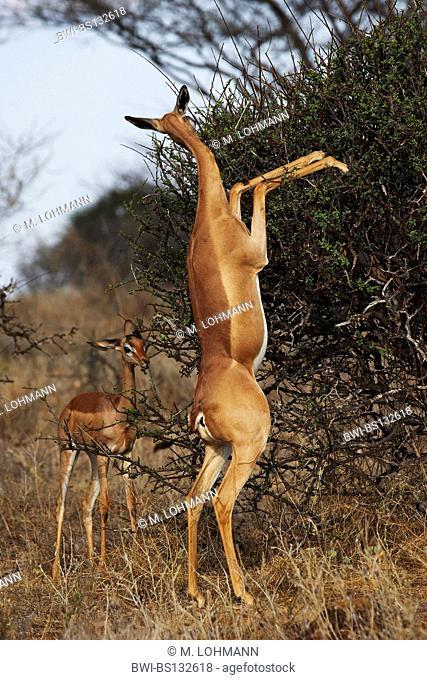 gerenuk (Litocranius walleri), female with young, Kenya, Samburu National Reserve, Isiolo
