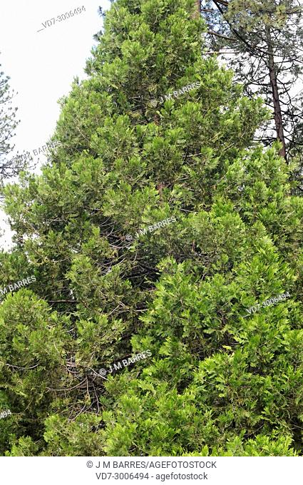 California incense cedar (Calocedrus decurrens or Libocedrus decurrens) is a conifer tree native from northwest Mexico and western USA to Oregon