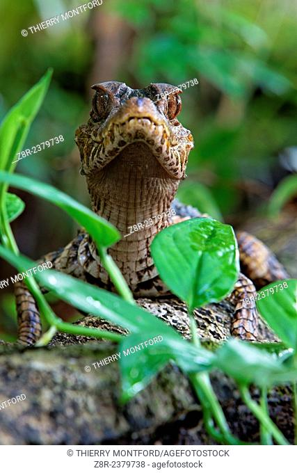 Paleosuchus palpebrosus. Young dwarf caiman in the forest. French Guiana
