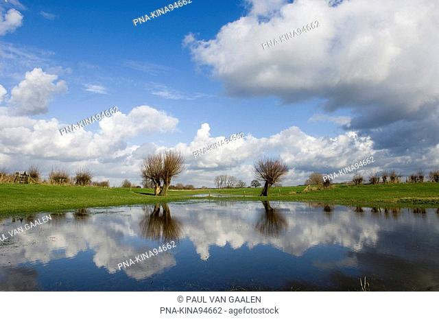 Willow, Pollard-willow Salix alba - IJsseluiterwaarden, IJssel, The Netherlands, Holland, Europe