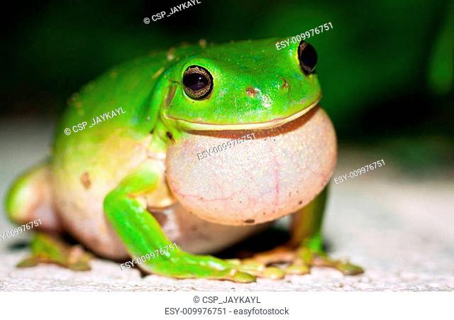 Male Green tree frog (Litoria caerulea) calling for females
