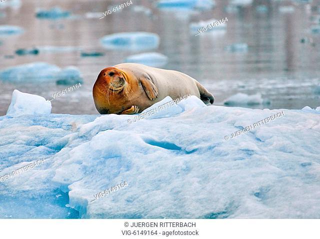 bearded seal (Erignathus barbatus), Svalbard or Spitsbergen, Europe - , Svalbard, 20/06/2018