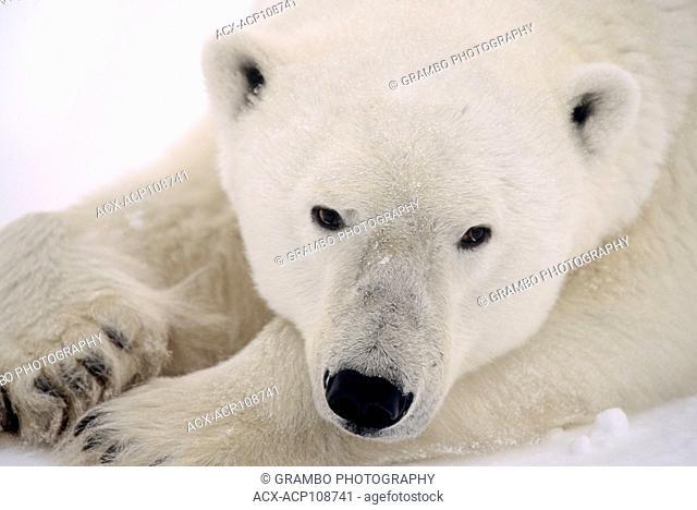 Polar Bear, Ursus maritimus, rests in snow near Churchill, Manitoba, Canada