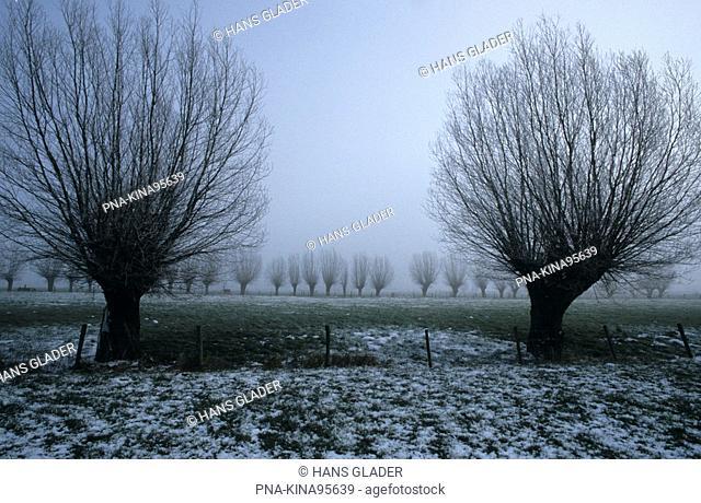 Willow, Pollard-willow Salix alba - Lower Rhine, North Rhine-Westphalia, Germany, Europe