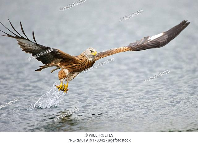 Red Kite hunting a fish, Milvus milvus, Germany, Europe