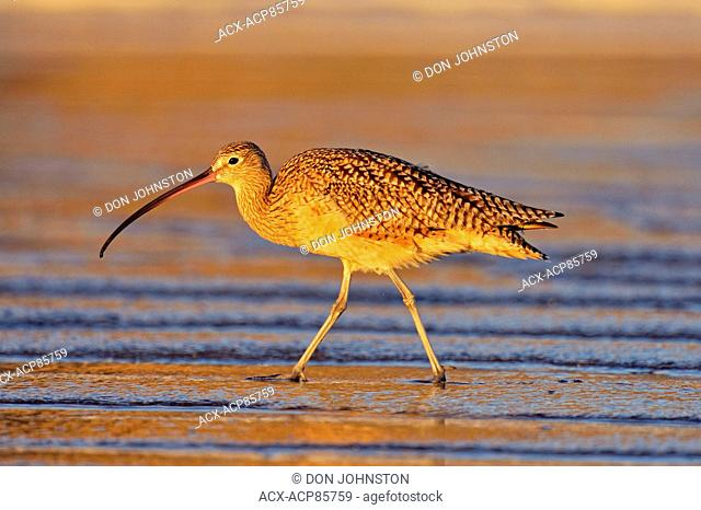 Long-billed Curlew (Numenius americanus) foraging at low tide on sandy beach, Morro Bay, California, USA